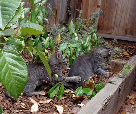 They enjoyed rollicking on the patio in a kitty conga line.