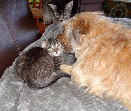 Daisy thinks kitten ears taste delicious.